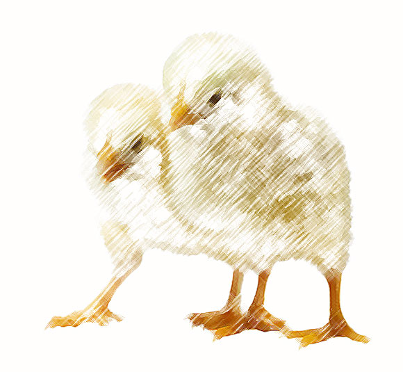 Poultry breeders south wales